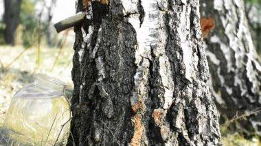 Collecting birch sap — Stock Video
