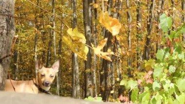 Pies w lesie jesienią — Wideo stockowe