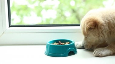 Cute puppy is eating dry food — Vídeo de stock