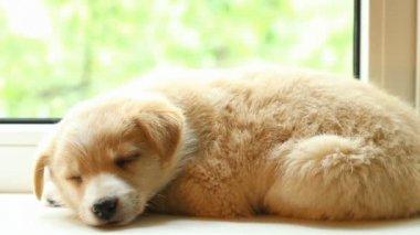 眠っている小さな子犬 — ストックビデオ