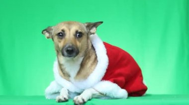 Dog in Christmas clothes — Vídeo stock