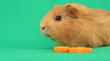 Funny guinea pig — Stock Video