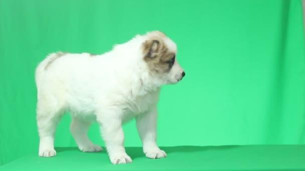 Cachorro de Pastor Caucásico blanco — Vídeo de stock