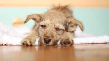 Sleepy puppy lying down — Stockvideo