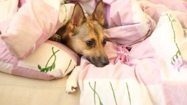 Hund i sängen — Stockvideo