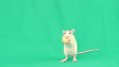 Little rat eating cheese — Stock Video