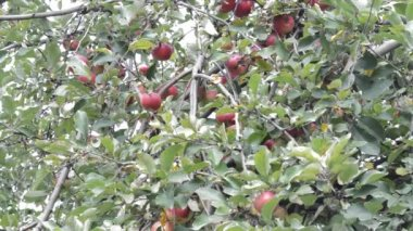 Apple Tree in orchard — Stock Video