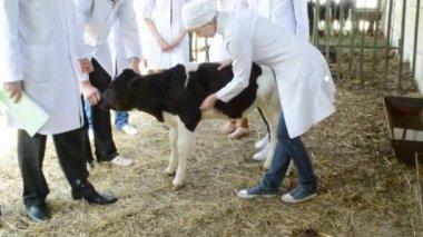 Veterinarian checking cow — Стоковое видео