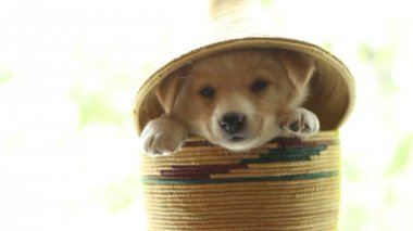 Puppy  color sits in a wicker basket — Stock Video
