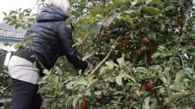 Woman picking apples — Stock Video