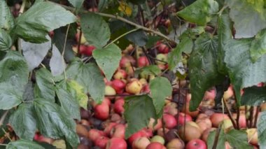 Red apples in grass — Stock Video