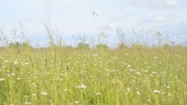 Field of grass in the summer — Stock Video