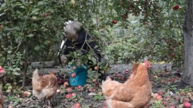 Hens grazing on backyard — Stock Video
