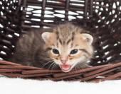 Mewing kitten in a wicker basket — Stock Photo