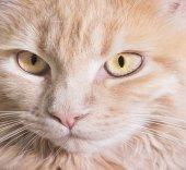 Muzzle cat — Stock Photo