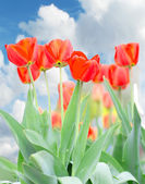 Beautiful tulips against the sky — Stock Photo
