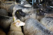 Sheep inside shearing shed on farm  — Stock Photo