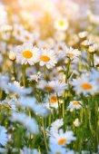 Wild daisies in morninglight — Stock Photo