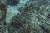 Sphyryaena barracuda — Stock Photo