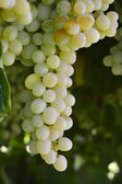 Wine grapes. — Stock Photo