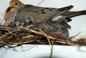 Pigeon Dove — Stock Photo