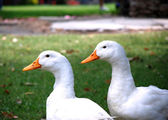 Two ducks. — Stock Photo