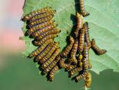 Caterpillars — Stock Photo