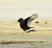 Turkey vulture — Stock Photo