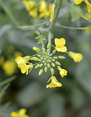 Flowering mustard. — Stock Photo