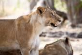 Angry Lion Growl at Okavango Delta — Stock Photo