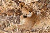 Lion With Radio Collar Tag — Стоковое фото