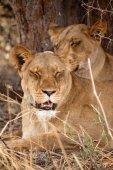 лев в дельте реки окаванго — Стоковое фото