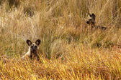 African Wild Dog at Okavango Delta — Стоковое фото