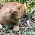 Постер, плакат: Cat Hunting Snake
