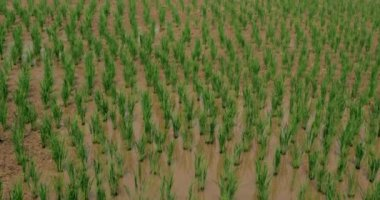 Rice Paddy in Northern Thailand — Stock Video