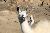 White lama in natural environment — Stock Photo