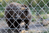 Brown bear over wire fence at zoo — Stock Photo