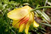 Yellow tulip with red streaks — Stock Photo