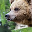 Brown bear with open mouth — Stock Photo #77663712