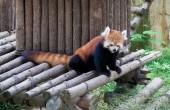 Raccoon in a zoo in Wuxi, Jiangsu province, China — Stock Photo