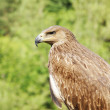 Proud profile of an eagle against the background of green foliag — Stock Photo #65876213