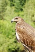 Proud profile of an eagle against the background of green foliag — Stock Photo