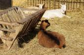 Goats lie on hay in the barnyard — Stock Photo
