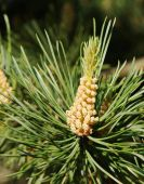 Macro of future cones on the pine tree branch — Stock Photo