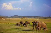 Grazing elephants — Stock Photo