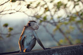 Resentful monkey — Stock Photo