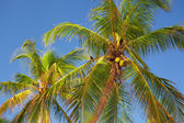 The tops of palm trees — Stock Photo