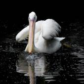 Pelican swimming in the water — Stock Photo