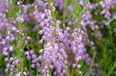 Flowering heathers — Stock Photo