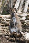 アカクビワラビー、オーストラリア — Stockfoto